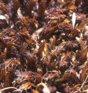 Polytr. piliferum