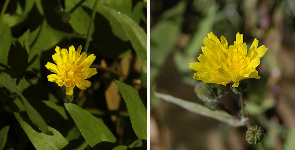 Cabezuelas de Sonchus tenerrimus